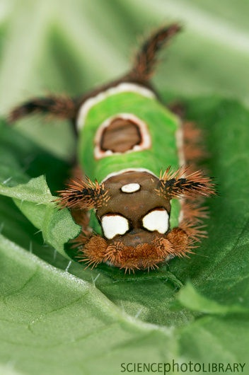 Saddleback Caterpillar -- watch out for these! Their sting is very painful.