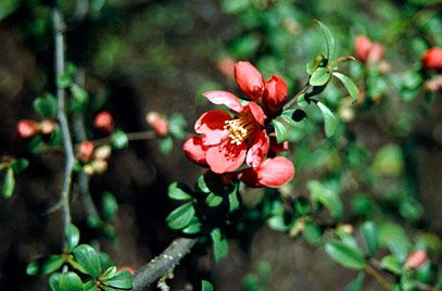 Japanese quince 'Crimson and Gold'