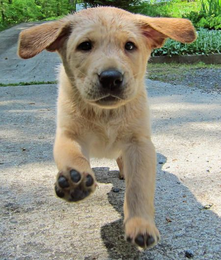 ears!: Dinner, Labrador, Yellow Labrador Retrievers, Animals, Pets, Adorable Dogs Puppies, Ears, Lab Puppies, Puppy