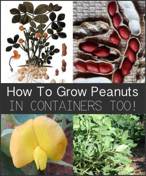 Grow peanuts in containers