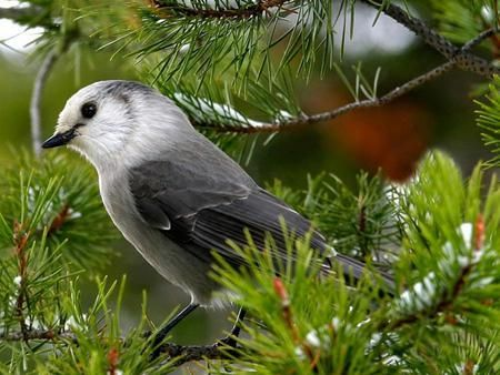 Pretty Nightingale - bird, black, branch, grey, Nightingale, tree, white