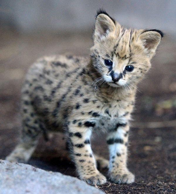 Çita yavrusu