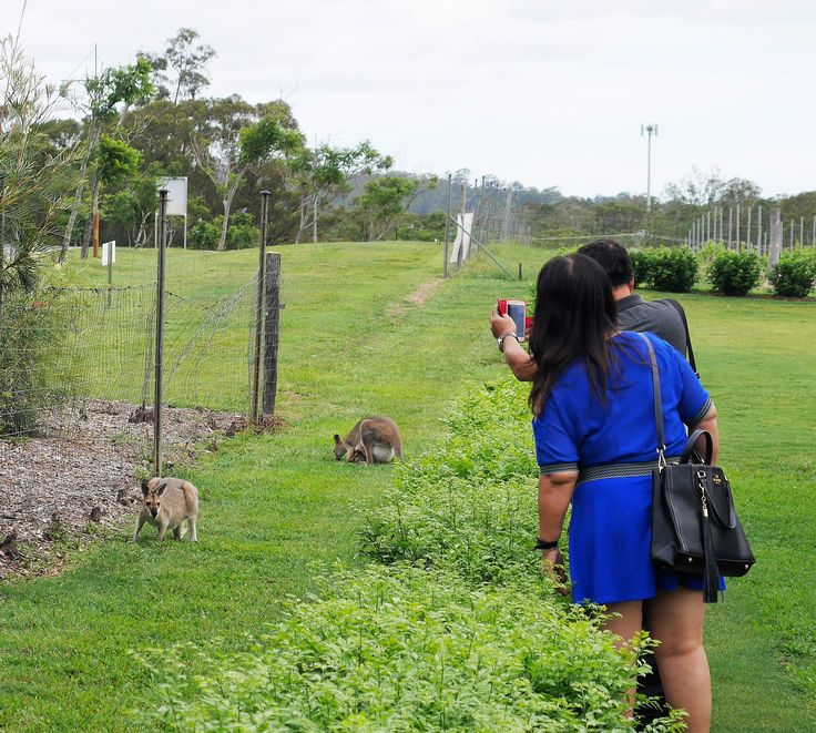 Saying hello to the local wallabies at Sirromet Winery