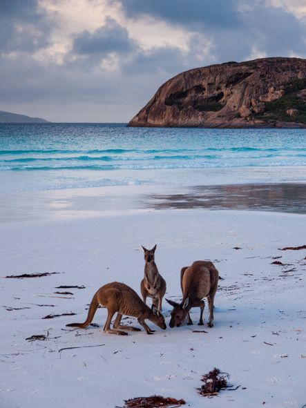 Kangaroos on the beach, Lucky Bay, Cape Le Grand National Park, Australia