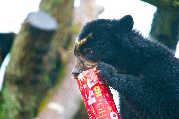 Bahia, one of Durrell's Andean bears, with her Christmas present