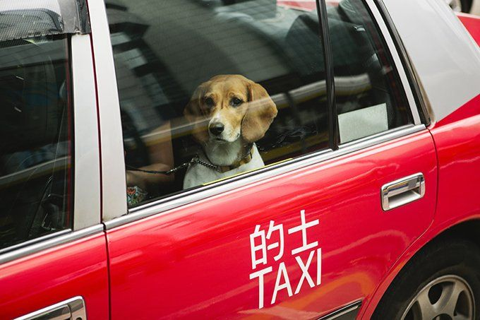 Uber Lyft Taxis With Dogs What Car Services Let You Bring Dogs With Images Dogs Pet Travel Pets