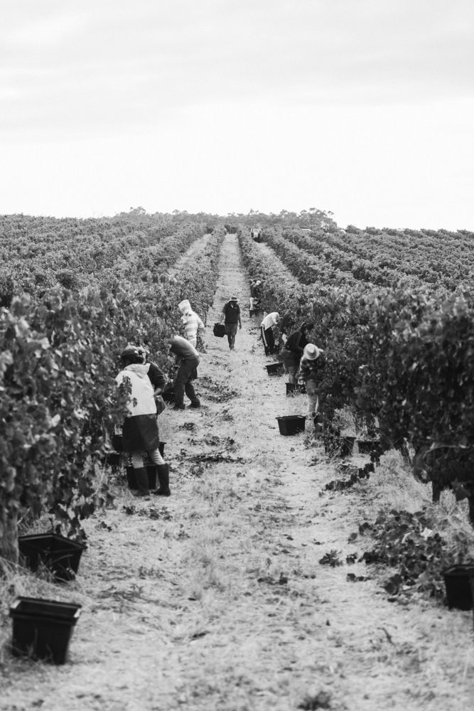 Seems endless, doesn't it? Beautiful photo of the Aravina vines and the hard-working hands that pick them.
