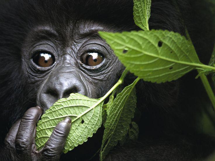 Au Rwanda, les gorilles sont de retour