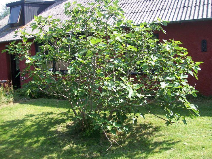 Figentræet i haven - giver kæmpe afkast hvert år.