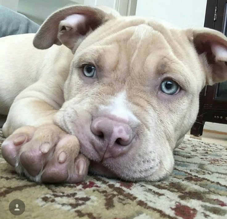 Pitbull dog blue nose and red nose