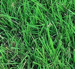 Found my grass!! low maintenance, drought and cold resistant -Grows best < 20 in. annual rainfall and grows in clay soils! Buffalo Grass