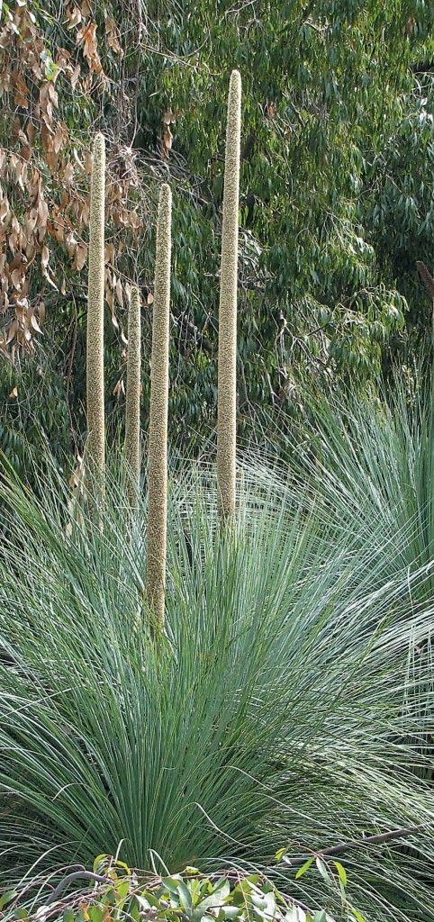 Xanthorrhoea quadrangulata in the Los Angeles County Arboretum & Botanical Garden. Photograph by RGT