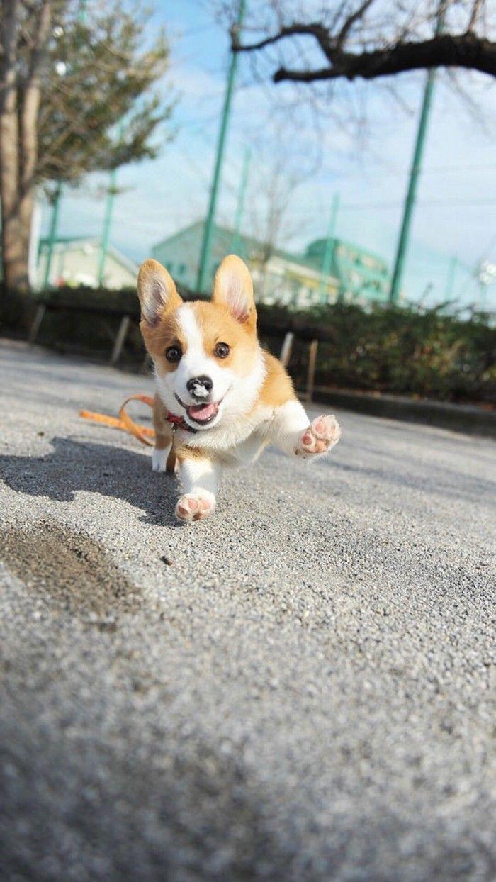 More About Cute Corgi Puppies Size Pembrokewelshcorgipuppy