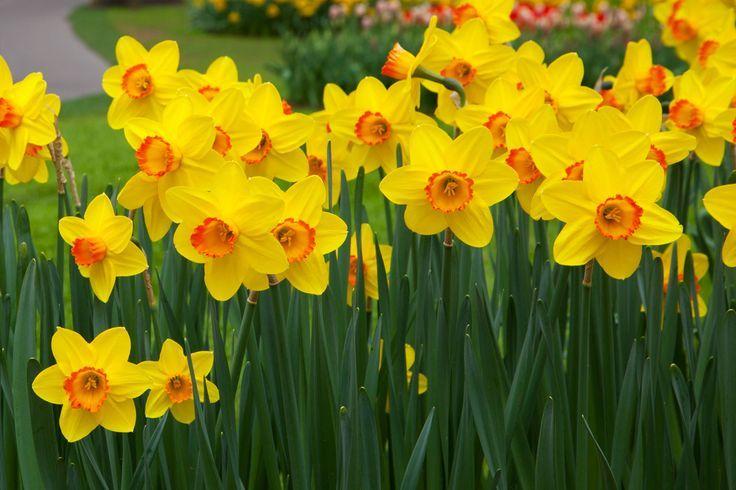 Flores de narcisos, mediante plantación de Bulbos
