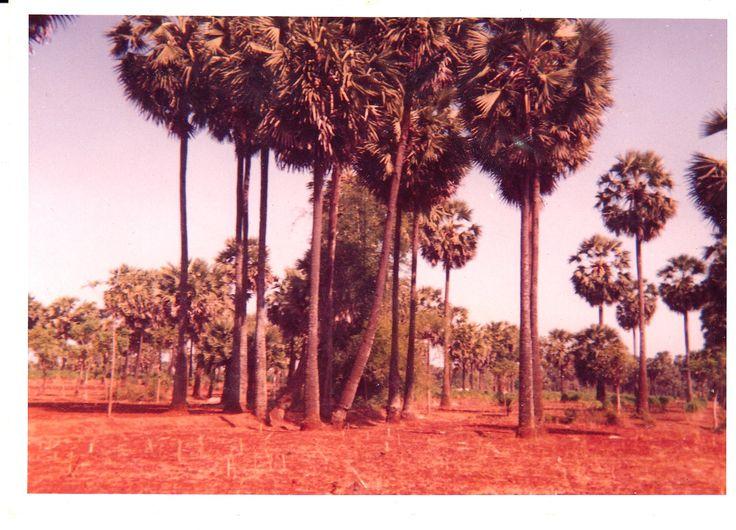 Pohon Siwalan di Tuban. Daunnya / Lontar pada zaman dulu digunakan untuk membuat buku. Kitap-kitap kuno di Nusantara ditulis di daun-daun Lontar.