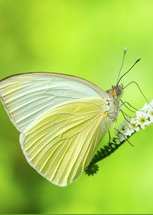 Great Southern White Butterfly Drinking Nectar by Artful Imagery