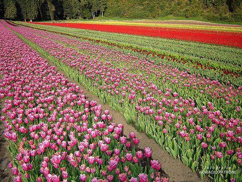 Tulipanes Way