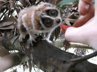 Pygmy slow loris eating watermelon: