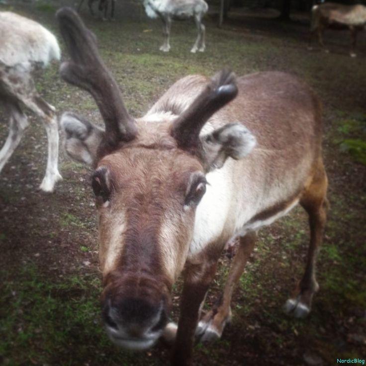 Finland, reindeerfarm Iittala #Finland #reindeer #reindeerfarm #reindeerpark