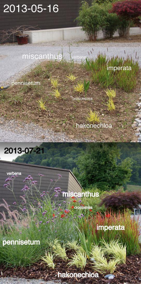 Two month's worth of growth. Plant list grasses: (i) Miscanthus, (ii) Pennisetum orientale 'Karley Rose', (iii) Hakonechloa macra 'Aureola' (iv) Imperata cylindrica 'Red Baron'. Plant list non-grasses: (i) Crocosmia 'Lucifer', (ii) Verbena bonariensis.