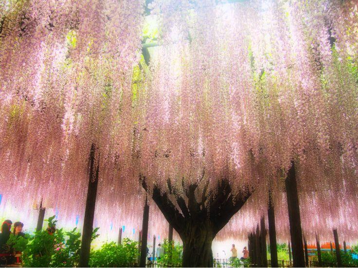 a wisteria trellis. 玉敷神社の大藤。