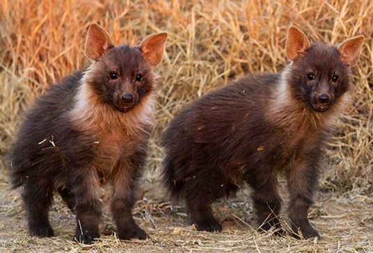 Brown Hyena pups  //http://www.pinterest.com/bonniejwc/brown-hyena/
