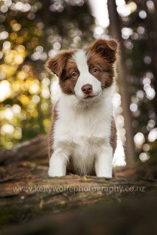 Vogue the Border Collie puppy by KiwiTakeFlight.deviantart.com on @deviantART