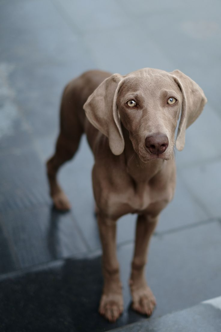 a weimaraner named ona | animals + pet photography #dogs
