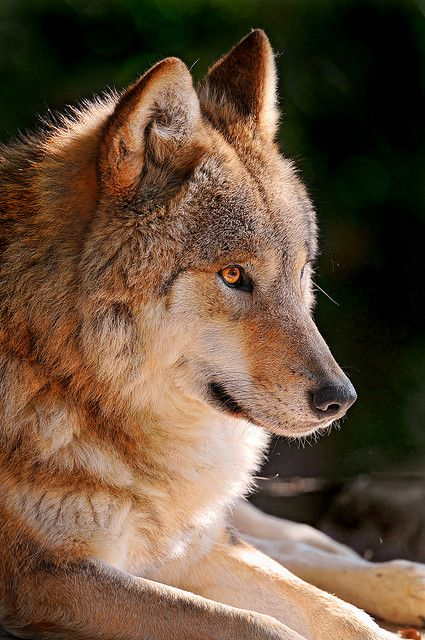 For the wolf fans... by Tambako the Jaguar, via Flickr