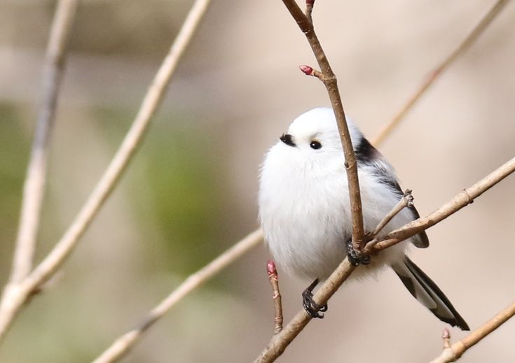 シマエナガ Long-tailed Tit