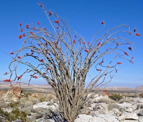 Mojave Desert Native Plants: In The Mojave Desert.
