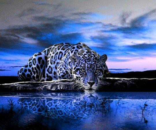 Blue jaguar animal blue jaguar animals animal hd - Cuadros de cebras ...