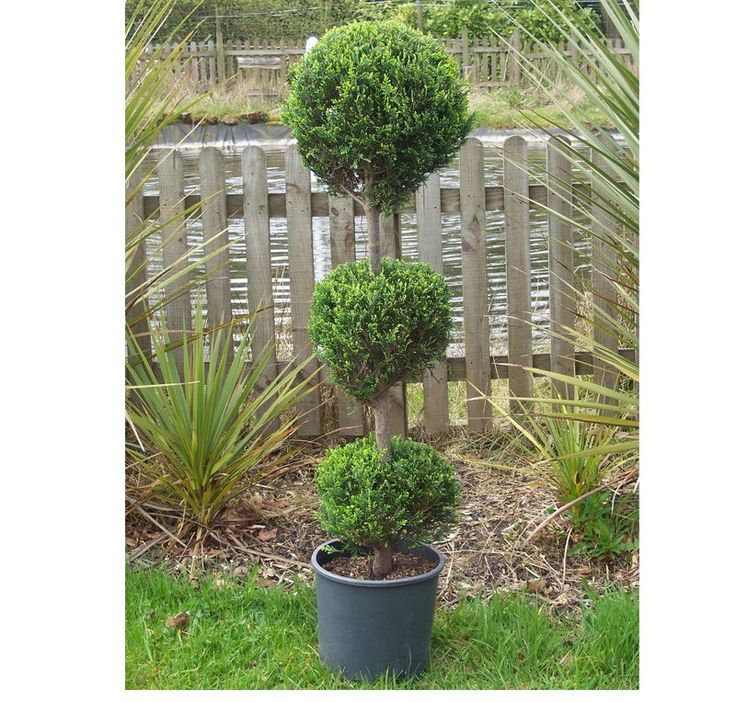 Cupressocyparis Leylandii 3 Tier Online From Jacksons Nurseries