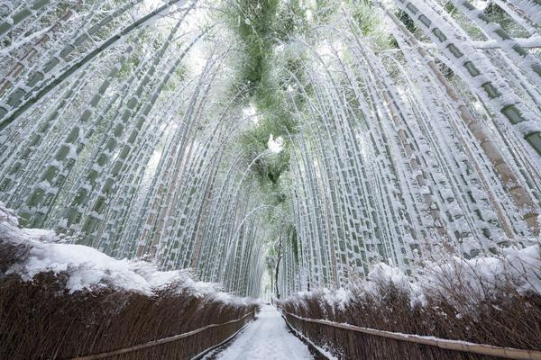 Заснеженный бамбуковый лес, Киото, Япония