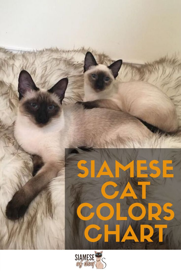 Siamese Cat Colors Chart - The Siamese cats are considered ...