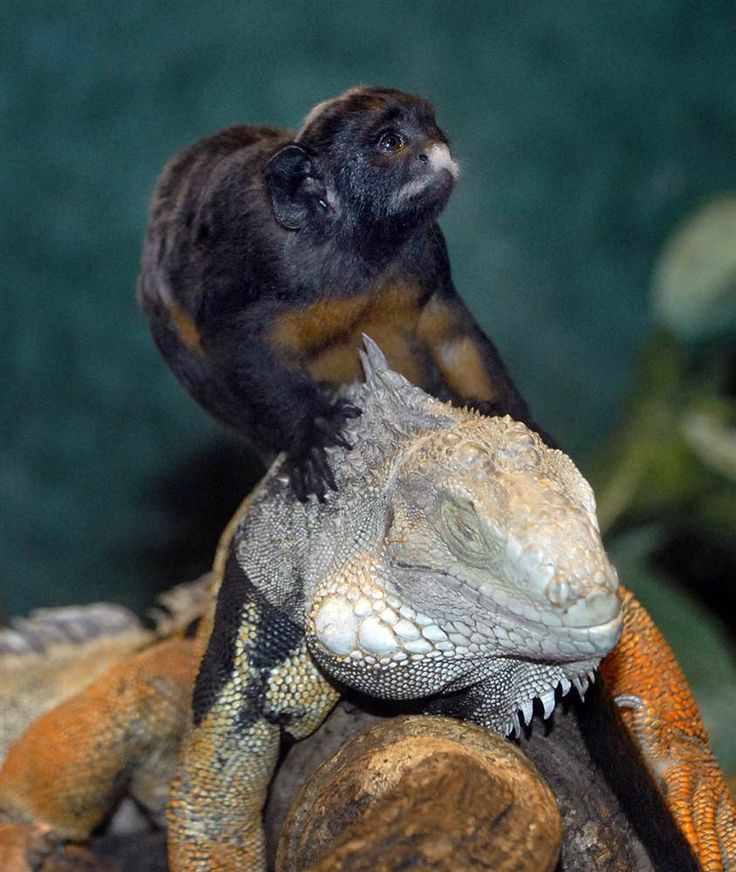 A red-bellied tamarin monkey plays with a green iguana at the Ouwehands zoo in Rhenen on Feb. 13. The small monkey enjoys the company of the iguana and frequently enjoys a ride on its back.