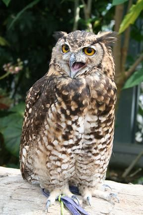 ワシミミズク/Eurasian Eagle Owl/CR(2012RDB)