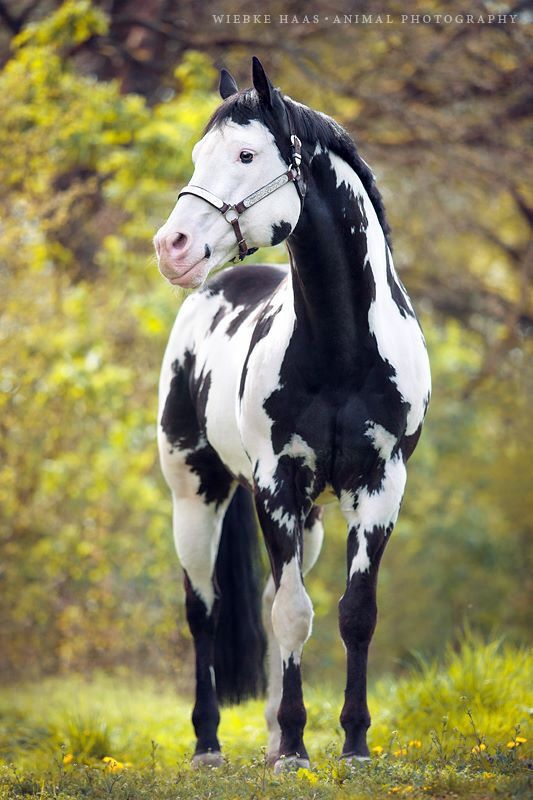 — APHA world champion Colonel Coosader is still a stunning stallion. #pinto #horse