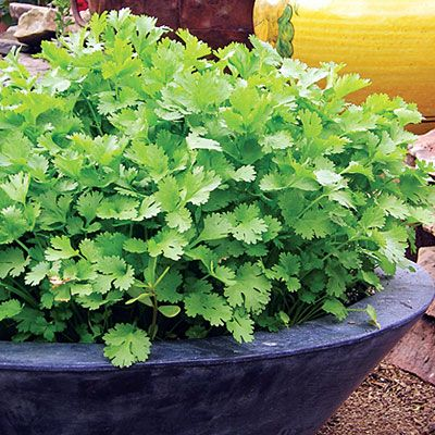 Cilantro...easy to grow from seed in low, wide bowls... *note: the main tip for this is to make sure it doesn't get tall. Cilantro has a long tap root which requires a deeper pot but as long as it's kept short that won't be a problem.. One of my Favorite Herbs never tried this. Will be giving this a try!