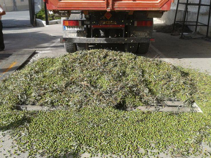 Olives on the reception area, freshly harvested www.oleicolasanfrancisco.com
