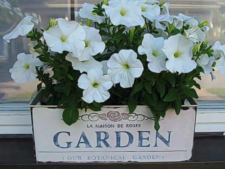 Kesäkukkia parvekelaatikossa, valkoiset kukat, The white flowers, valkoinen petunia