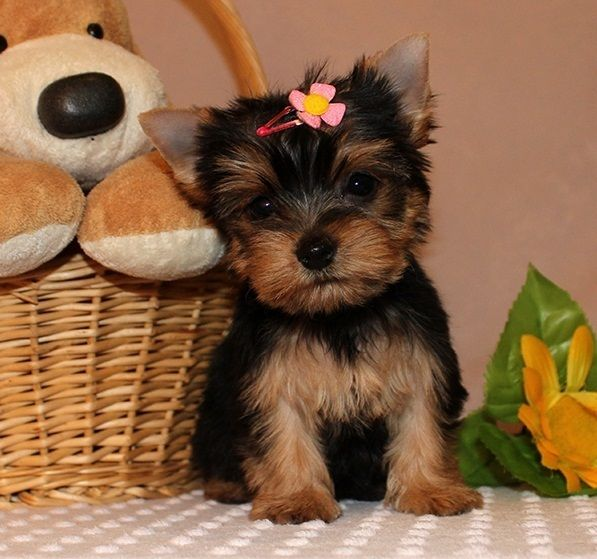 Paradise Yorkie Home Available Puppies Home Of Registered Healthy Yorkie Puppies Affordable With Sh Teacup Yorkie Puppy Yorkie Puppy Yorkie Puppy For Sale