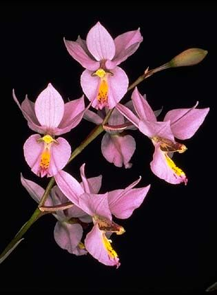 191 best Barkeria   Basiphyllara images on Pinterest Orchids