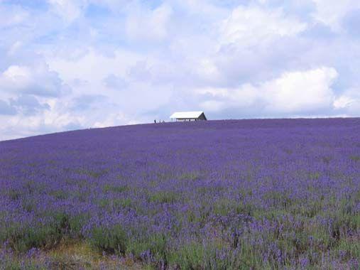 富良野ラベンダー畑の思い出の画像 | 海辺の優しい生活&花のアトリエ