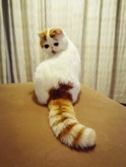Ok patricia this is your cat .A super cute Exotic Shorthair cat. That tail! ♥