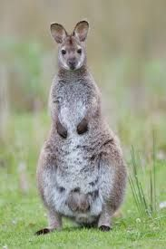 This is a Wallaby, one of Australia's beloved, native animals. Wallabies typically live for five to ten years alone. There are more than 12 different species of wallabies. Also, wallabies are marsupials. They feed on grass and small plants. Wallabies live in rainforests, flat lands, or stony hills.