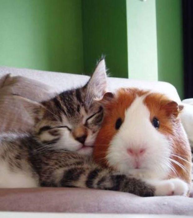 Foto : Gato e porquinho-da-índia: como irmãos                              …