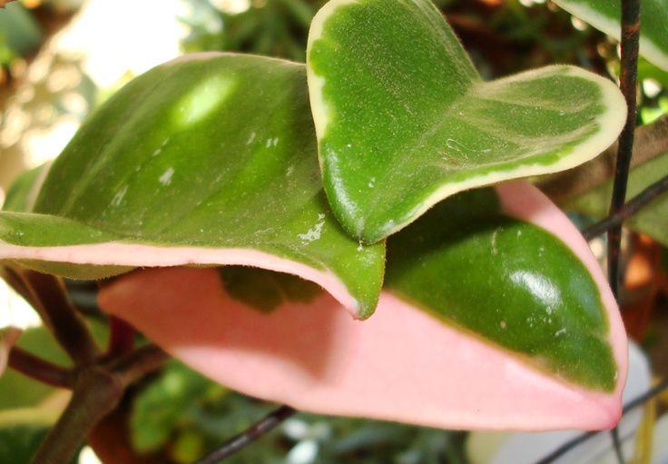 H. crimson queen leaf @169