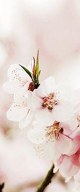 Blogul Roxanei: Flori de cireș