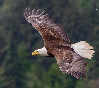 Bald Eagle   Richard Hebhardt / Audubon Photo Awards - Bald and Golden Eagles need your help